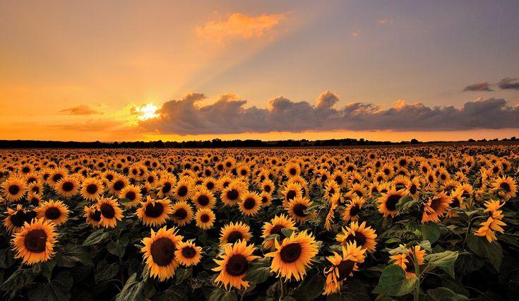 girassóis, campo, pôr do sol, paisagem