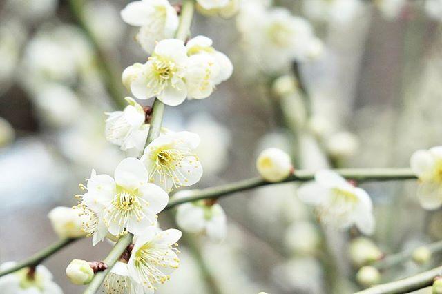 四季折々の花、🇯🇵はいい国です😄 - - #eos#eosm3#happy#eos6d#tamron#canon#LIFEwithCAMERA#キヤノン#花#カメラ散歩#カメラ日和#カメラ好きな人と繋がりたい#ファインダー越しの世界#風景#キタムラ写真投稿#東京カメラ部#梅#instagram#instagramjapan#instaphoto#instaflower#flower#follow#instafellow#instacamera#instalove