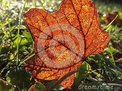 Golden reddish brown autumn leaf in the grass. Fall morning sunshine, beautiful autumn leaf textured. Nature details, beauty of fall.