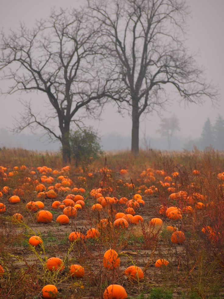 Pumpkins on a misty October day
