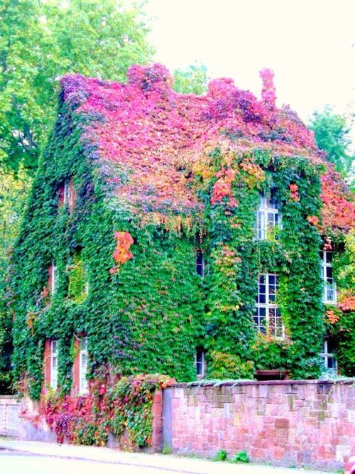 Ivy Covered CottageDreams, Vines, Colors, Beautiful, Cottages, Ivy, Green House, Gardens House, Fairies Tales