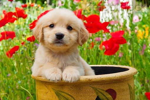 Golden Retriever Puppy Sitting In Flower Pot In Garden - Kimballstock