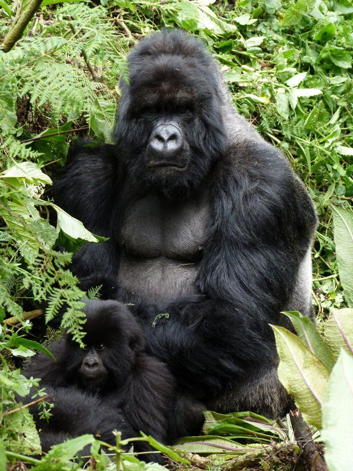 Silver-back Mountain Gorilla in Rwanda, with little baby. Silver-back is a term used for adult male Gorillas of all their species.