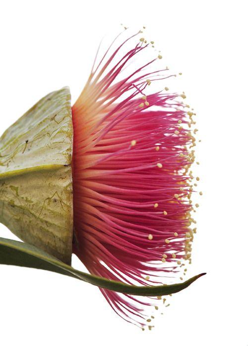 Eucalyptus flower bud.
