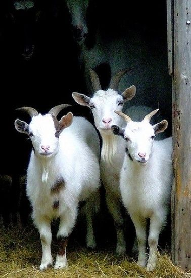 """* * MIDDLE GOAT: """"Noes, weez not de Three Billy Goats Gruff. Az fer beauty, if yoo retain nuthin' else, justs remember de important rule of  hoof: 'who cares?""""."""