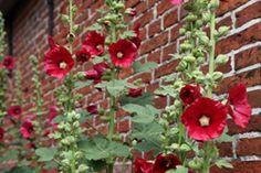 Stockrosen pflanzen und pflegen – So wird's gemacht