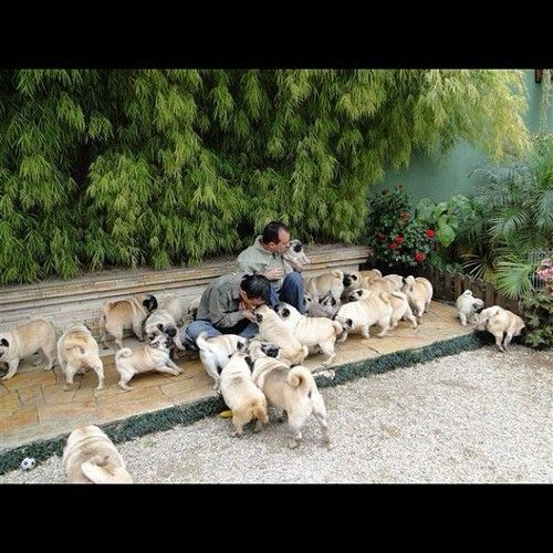 I want to go here.Precious Pugs, Pugs Heavens, Animalsmost Pugs, Precious Puggies, Dreams Come True, Pugs Pugs, Pugs Parties, Pugs Life, Pugs Farms