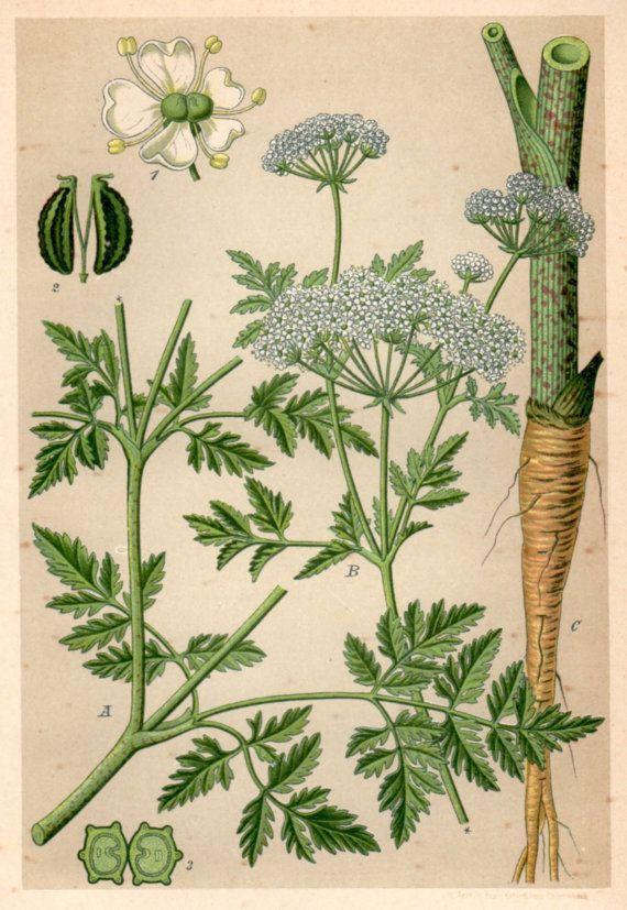 1901 Poison Hemlock, Botanical Print, Conium maculatum ...