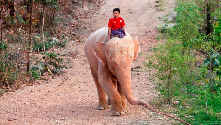 Para los tailandeses el elefante blanco no es necesariamente albinos sino que debe tener solamente la piel pálida. Tras ser identificado el elefante, en esa cultura se clasifica al animal en una de cuatro categorías, para luego ser ofrecidas al rey; se dice que las más bajas no corrían esta suerte en la antigüedad.  Debido a que el elefante blanco es sagrado no cumplía labores productivas y constituía un regalo para la nobleza y los más ricos debido a lo costoso que es mantenerlo.