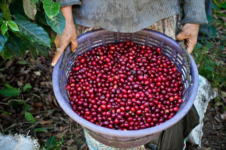 Guatemala Coffee Sourcing #káva