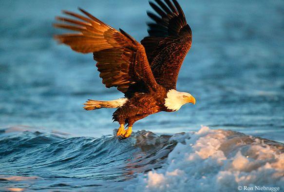 Águila volando sobre el mar al atardecer