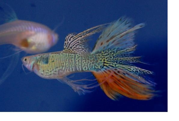 Fancy medusa guppy fancy guppy pinterest fish for Fancy guppy fish