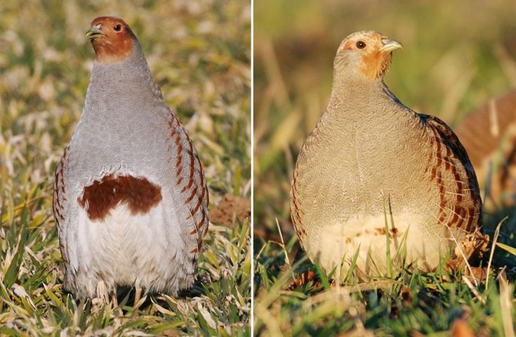 How to sex and age grey partridges - Game and Wildlife Conservation Trust