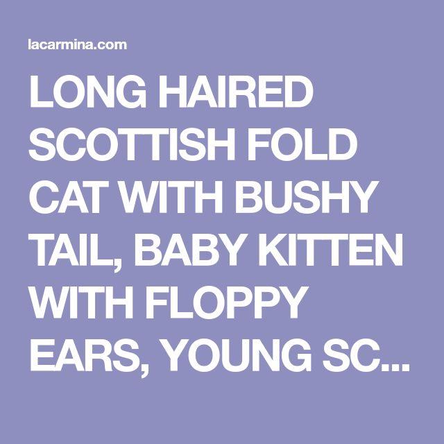 LONG HAIRED SCOTTISH FOLD CAT WITH BUSHY TAIL, BABY KITTEN WITH FLOPPY EARS, YOUNG SCOTTISH FOLD CATS FROM BREEDER. | Cutest Scottish Fold cat in the world, Basil Farrow! Scottish Folds, kittens