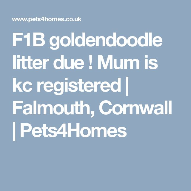 F1B goldendoodle litter due ! Mum is kc registered | Falmouth, Cornwall | Pets4Homes