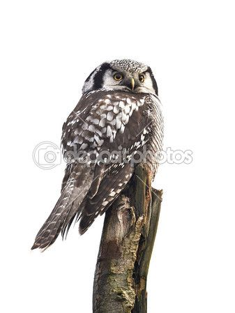Northern Hawk Owl (Surnia ulula) — Stock Photo © DennisJacobsen #51541979
