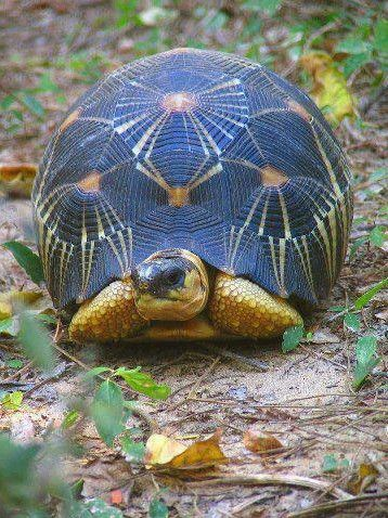 Amazingly distinctive markings on this turtle.