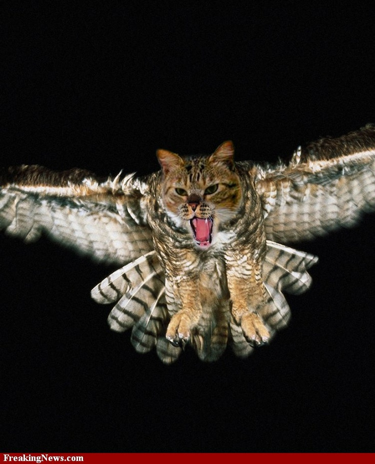 Cat owl