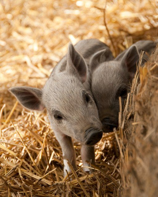 """Mangalitsa piglets (also known as """"woolly pigs"""")"""