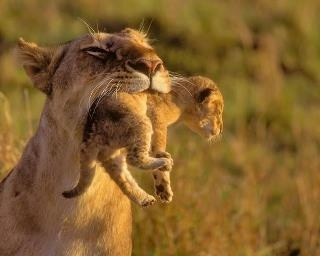 Happy Mother's Day, too cute: Big Cat, Cute Funny Animal, Cute Animal, Mothers Day, Animal Baby, Amazing Natural, Baby Animal, Desktop Wallpapers, Baby Lion