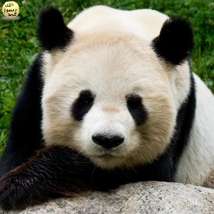 Yaklaşık 18 ay kadar önce Çin'in güney bölgesindeki bir mağarada Çin Bilimler Akademisi'nden Changzhu Jin ve Jinyi Liu'nun da dahil olduğu bir ekip tarafından ele geçirilen yeni bulgular, dev pandanın temel anatomisinin milyonlarca yıl boyunca büyük oranda değişmeden kaldığını gösteriyor. (18 Temmuz 2007, UI anthropologist, colleagues discover remains of earliest giant panda)