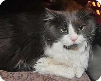 Garland, TX - Persian. Meet Tess, a cat for adoption. http://www.adoptapet.com/pet/15332861-garland-texas-cat