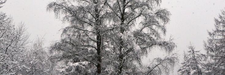 De berk, met de officiële naam Betula is een boom met twee gezichten. Enerzijds is het een frele verschijning met zijn luchtige vertakking en dunne twijgjes. Anderzijds heeft de boom een ontzet