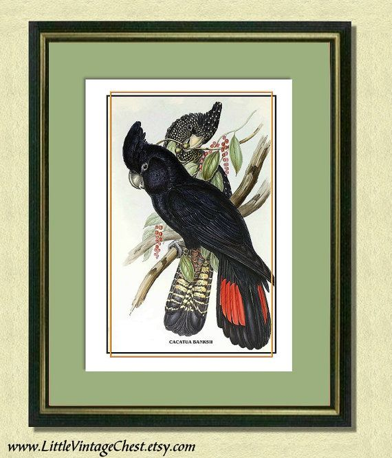 BANKSIAN COCKATOOS  Antique Bird Art Print by littlevintagechest, $7.00