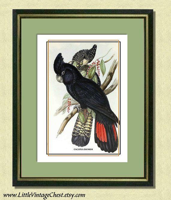 BANKSIAN COCKATOOS  Antique Bird Art Print by littlevintagechest, $7.00