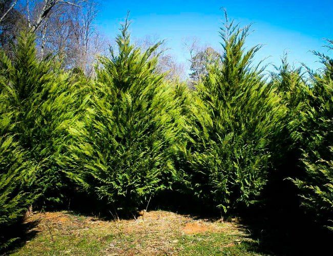 Solved Which Evergreens Grow The Fastest Fast Growing