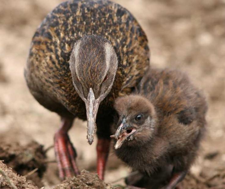 Weka & chick - Wangapeka Valley NZ. J Schofield