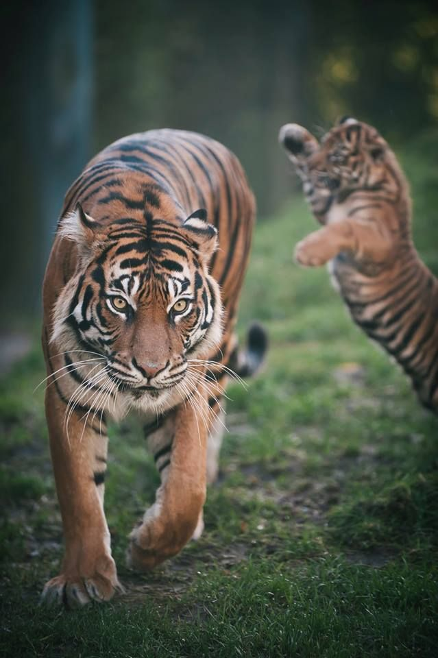 Fewer than 400 Sumatran tigers exist in the wild on their native island of Sumatra, and their numbers are dwindling due to habitat loss and poaching.