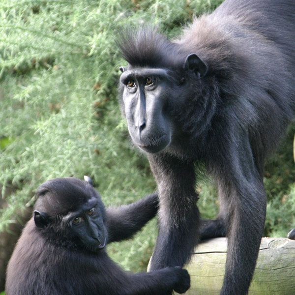 Crested Macaque  with baby