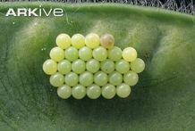 Green shield bug egg cluster on leaf