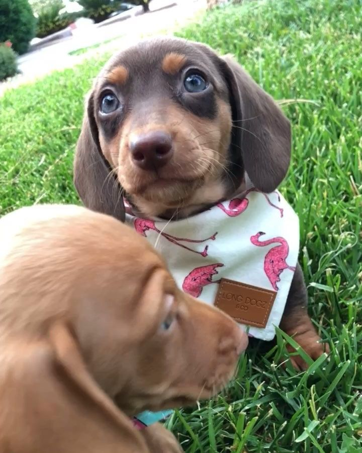 Pin By Lisa Fagan On Weiner Dogs Dachshund Puppies Cute Puppies