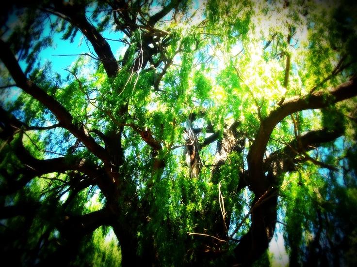 Willow tree*