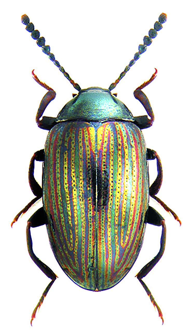 Chrisomelidae unidentified species