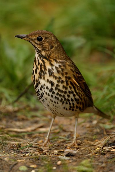 Song Thrush, love these guys! Had a wild/pet  song thrush that would come to visit in the morning for breakfast, his name was Jerry.