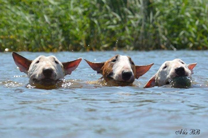 I don't know if my Bull Terrier sassy can swim! I had a Staffordshire Bull Terrier that would sink, I had to rescue her!