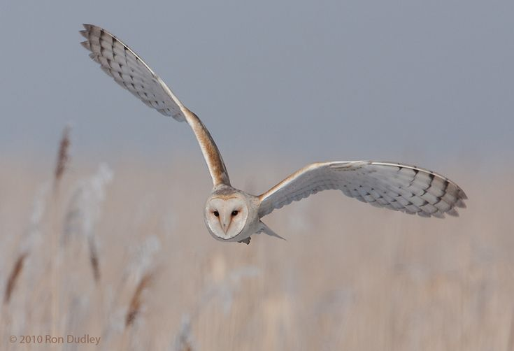 owls in flight pictures | Barn Owls in Flight | Feathered Photography                                                                                                                                                                                 More