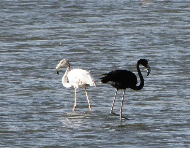 Black Flamingo? Photos of Melanistic Greater Flamingo in Eilat Israel