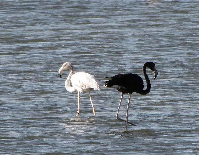 Black Flamingo? Photos of Melanistic Greater Flamingo in Eilat Israel