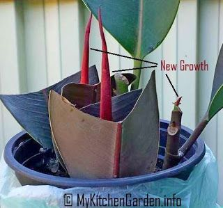 Propagation Of A Rubber Tree Plant : Starting A Rubber Plant