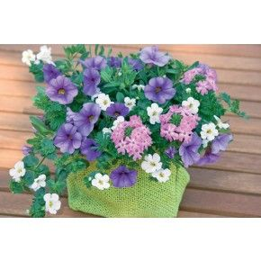 Ampelmix 'Blueberry Parfait' - 3 plantor