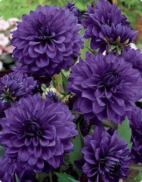 ✯ Purple Dahlias I love dahlias but I don't grow them. The bulbs have to be lifted in the fall in this area.  These dahlias are beautiful.