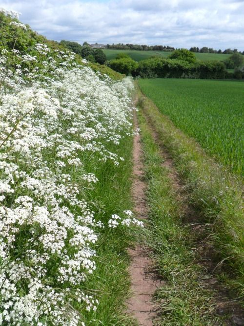 An English Country Lane: Queen Ann's Lace flowers line a footpath, Aldridge, Walsall, England All Original Photography by vwcampervan-aldridge