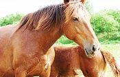 Конный клуб в Хабаровске - Кобылкино счастье. Катание и прогулки на лошадях в Хабаровске. Верховая езда на лошадях и конные прогулки в Хабаровске,верховая езда в Хабаровске, Продажа лошадей