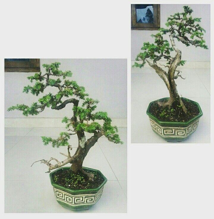 Juniperus rigida bonsai tree