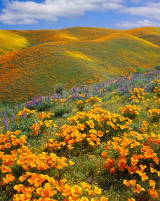 ✯ California - Beautiful orange poppies growing on hillsides and fields from Feb to April