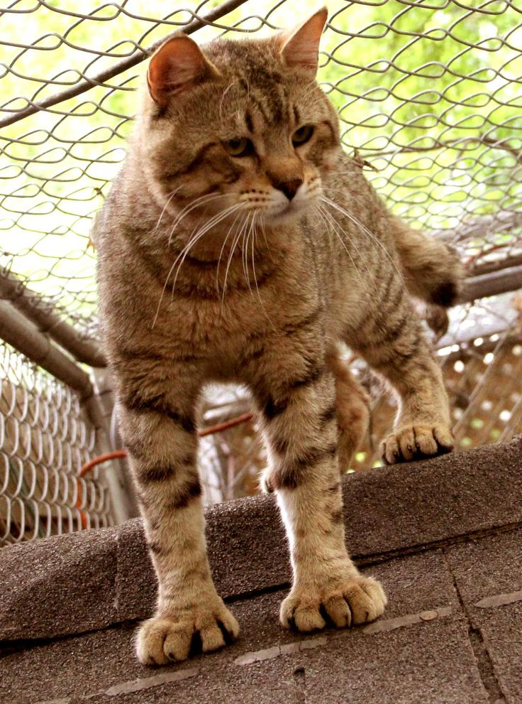 Pixie-Bob Cat Personality | Pixie-Bob Information